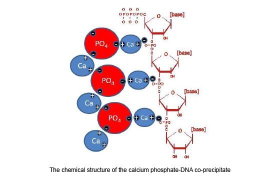Estructura química del coprecipitado de fosfato cálcico con ADN