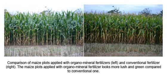 Comparación de parcelas de maíz a las que se ha aplicado fertilizante órgano mineral OMF (izquierda) y convencional (derecha).