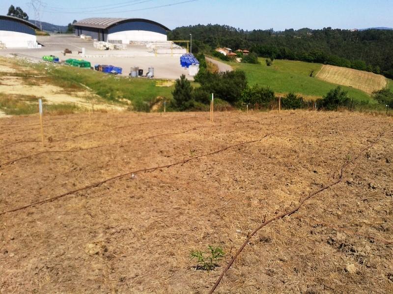 Foto del sistema de riego por goteo y la brotación de la estaquillas fertilizadas con compost EDAR (17/07/2013)