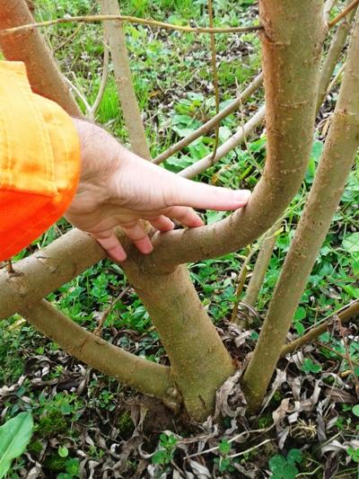 Foto de detalle del crecimiento del tronco y los brotes (diciembre 2014)