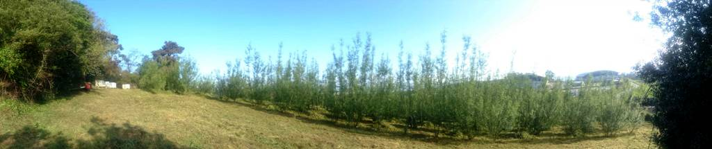 Vista general de la plantación de COGERSA (abril 2015)